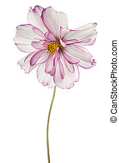 cosmos - Studio Shot of White and Magenta Colored Cosmos...