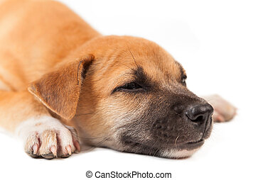 puppy dog sleep isolated on white background