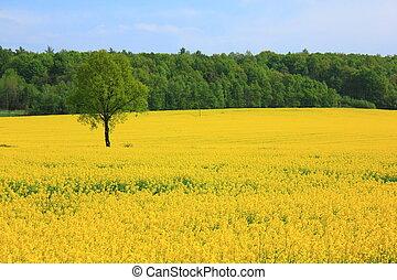 Yellow field - Landscape a spring field of yellow colza...