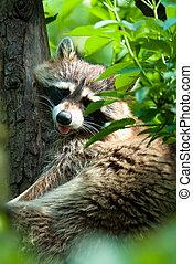 racoon in tree