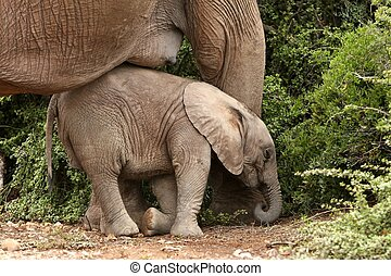 Baby Elephant Nap - Cute baby elephant resting against its...