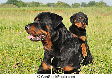rottweiler and puppy - portrait of an adult rottweiler and...
