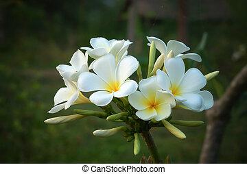 frangipani flower.