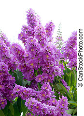 Violet color of Queen's crape myrtle flower.(Lagerstroem ia...