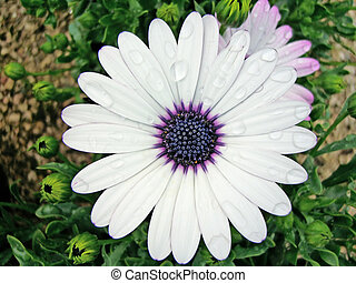 African Moon Daisy - White african moon daisy, natural of...