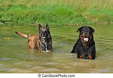 two dogs in river: belgian shepherd malinois and a...