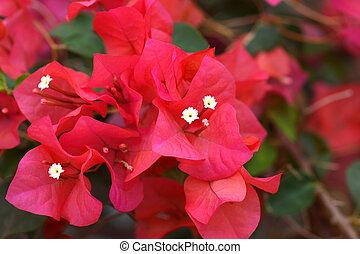 Bougainvillea flower.