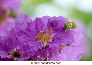 Violet color of Queens crape myrtle flowerLagerstroem ia...
