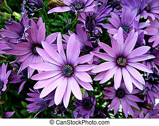 Purple African Moon Daisy\'s - Several purple African Moon...