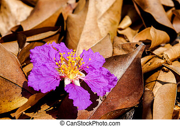 Violet color of Queens crape myrtle flower on the floor...