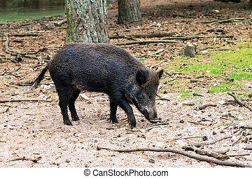 Foraging wild boar - Young wild boar (Sus scrofa) in...