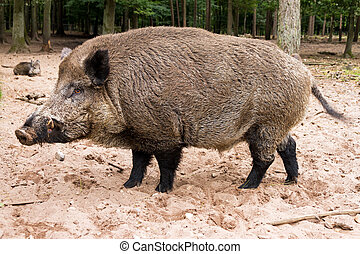 Wild boar leader - Wild boar (Sus scrofa) in national park...