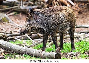 Young wild boar (Sus scrofa) in national park 'Het Aardhuis'...