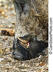 Wild boar close up - Wild boar (Sus scrofa) in national park...