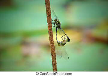 Mating of a pair of dragonflies