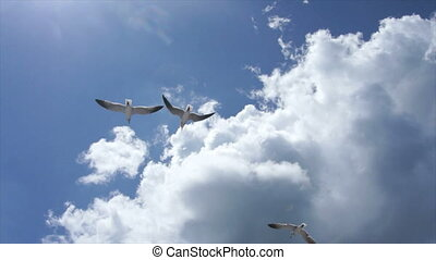 dominican gull - sky gull and clouds