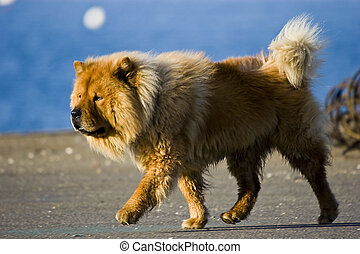 chow chow - a brown dog standing on profile