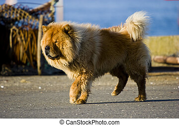 chow chow dog - a brown dog standing on profile