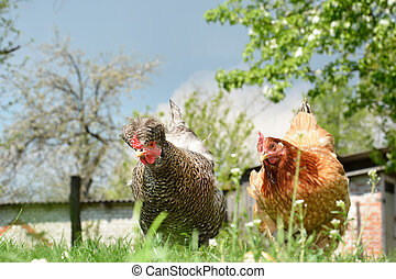 Two chickens in the yard.