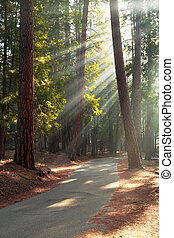 Road through Mariposa Grove - Early morning sunlight in the...