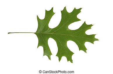 Red Oak leaf isolated - Red Oak tree leaf isolated over...