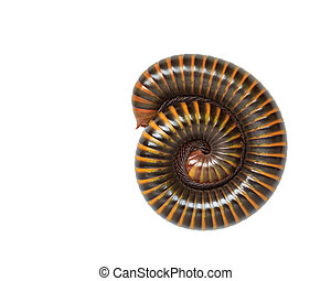 Tropical millipede isolated on white background