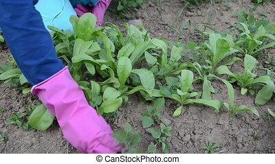hand grub weeds marigold - Gardener girl woman hands in...