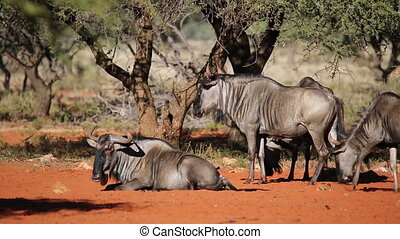 Blue wildebeest Connochaetes taurinus rolling on the ground,...