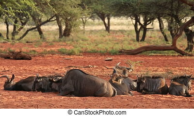 Blue wildebeest resting - Blue wildebeest (Connochaetes...