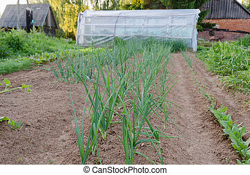 row of onions in the garden