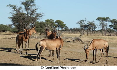 Red hartebeest herd - Small herd of red hartebeest...