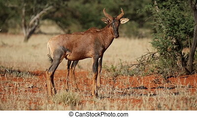 Tsessebe antelopes - Two tsessebe antelopes (Damaliscus...