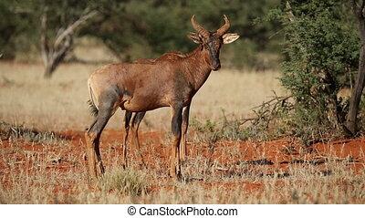 Tsessebe antelopes - Two tsessebe antelopes (Damaliscus...