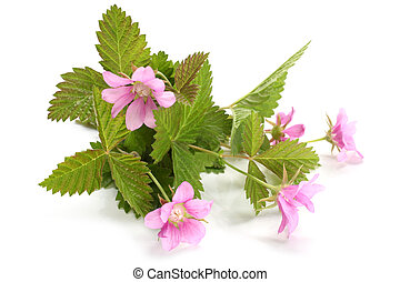 Flowers of a Rubus arcticus with leaves on white background