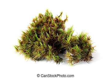 Green moss (Polytrichum commune) on white bakground