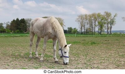 White horse on the pasture on the ranch