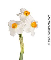 Three orange-and-white flowers of a tazetta daffodil
