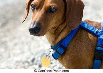 Dachshund on guard with harness - Closeup of a miniature...