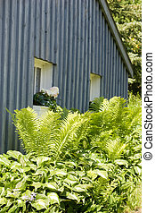 Ferns and Hostas against cottage - A bunch of ferns and...