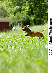 Mniature Dachshund chase - A miniature dachshund in mid...