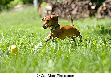 Miniature Dachshund pouncing on toy - A miniature dachshund...