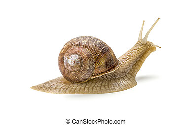 Burgundy snail on a white background