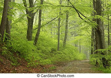foggy spring beech forest - Trail through the foggy spring...