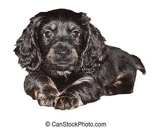 Dachshund puppy is black on white background
