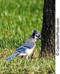 Blue Jay with Ruffled Crest on Grass - Blue Jay with ruffled...