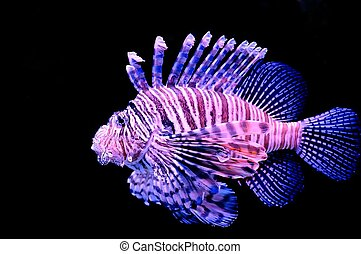 Red lionfish - Isolated red lionfish on a black background