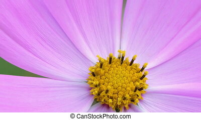 Cosmos flower extreme close-up