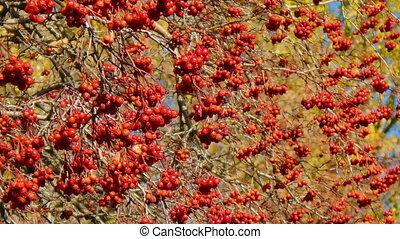 Autumn hawthorn branch, near focus
