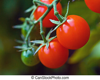 Tomatoes on the Vine - Red, ripe tomatoes still on the vine...