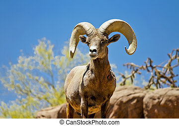 Desert Big Horn Sheep in Wilderness